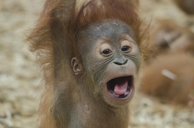Mláďa orangutana.jpg