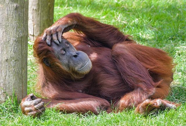 Orangutan červený.jpg